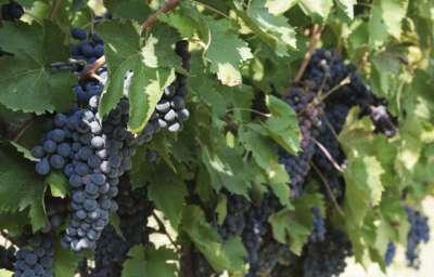 Виноград Калабрезе