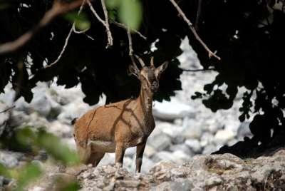 Критский горный козел
