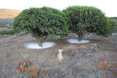 Деревья мастики