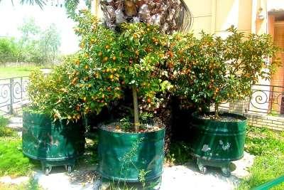 Апельсин Kumquats