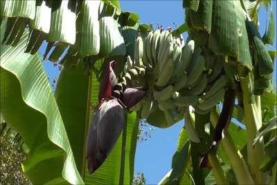 Критские бананы