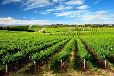 Виноградники Калабрии