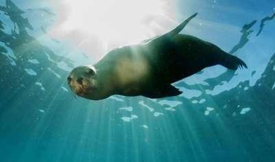Тюлень-монарх